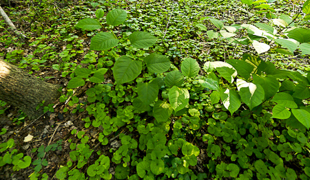 Invasive Plants: Japanese Knotweed (Fallopia japonica), Garlic Mustard (Alliaria petiolata) and Japanese Spurge (Pachysandra terminalis)