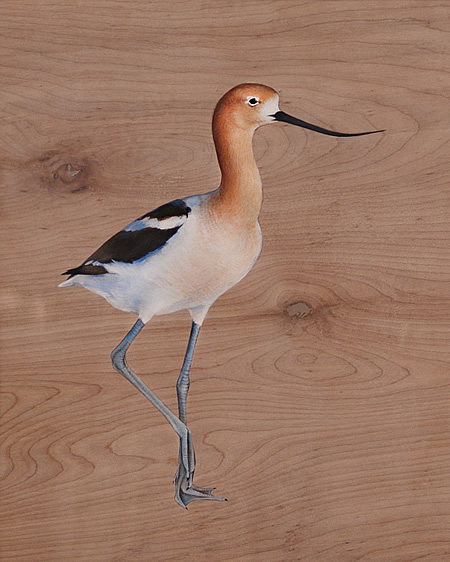 Jane Kim's American Avocet (Recurvirostra americana): cinnamon head, scythe bill and blue shanks.
