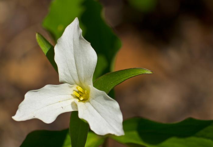 Large Flowered Trillium (Trillium grandiflorum)