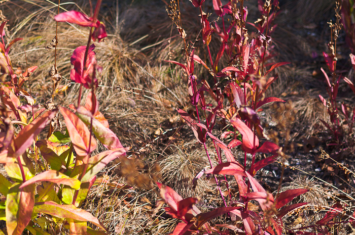 Flap-top Aster (Doellingeria umbellata): With cold weather on the horizon, warm colors—even on dead leaves—are more cherished in autumn than in spring and summer.