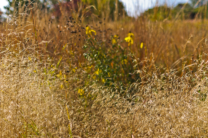Tufted hairgrass (Despchampsia Sespitosa), false sunflower and Big bluestem show the muted and earthy colors that can extend the garden season into the snow season.