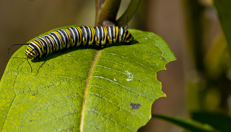 A Monarch Butterfly caterpillar late in the season